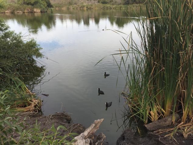 Guajome Lake Ducks
