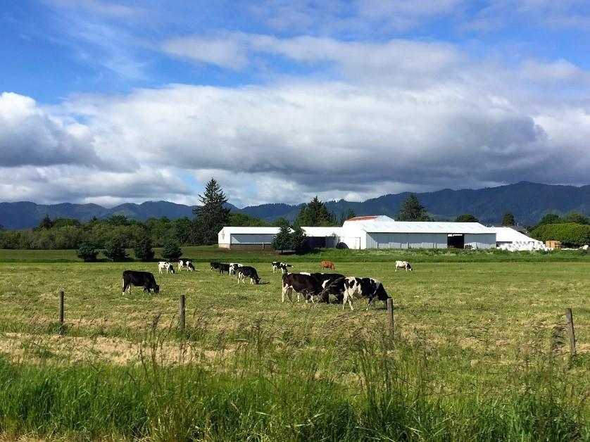 Tillamook Diary Cows