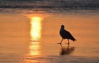 Seagull Newport Beach