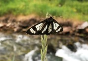 Butterfly Thayne Wyoming