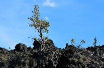 Trees grow in lava flow