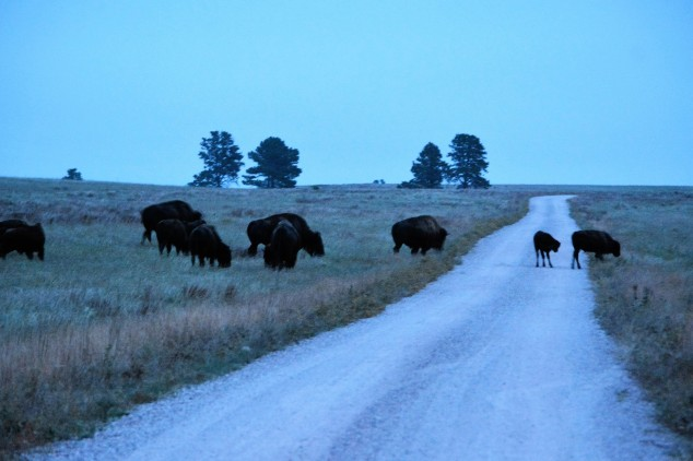buffalo-crossing-in-front-of-us