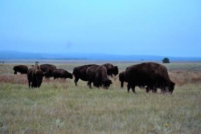 buffalo-herd-up-close