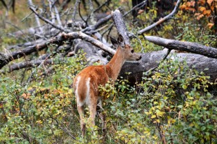 fawn-in-forest