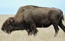 really-close-buffalo