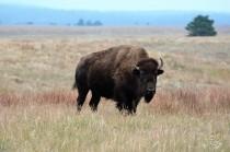 solo-buffalo