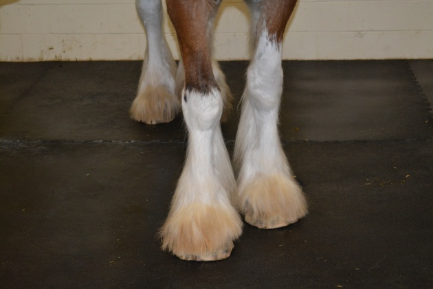 clydesdale-radar-feathers